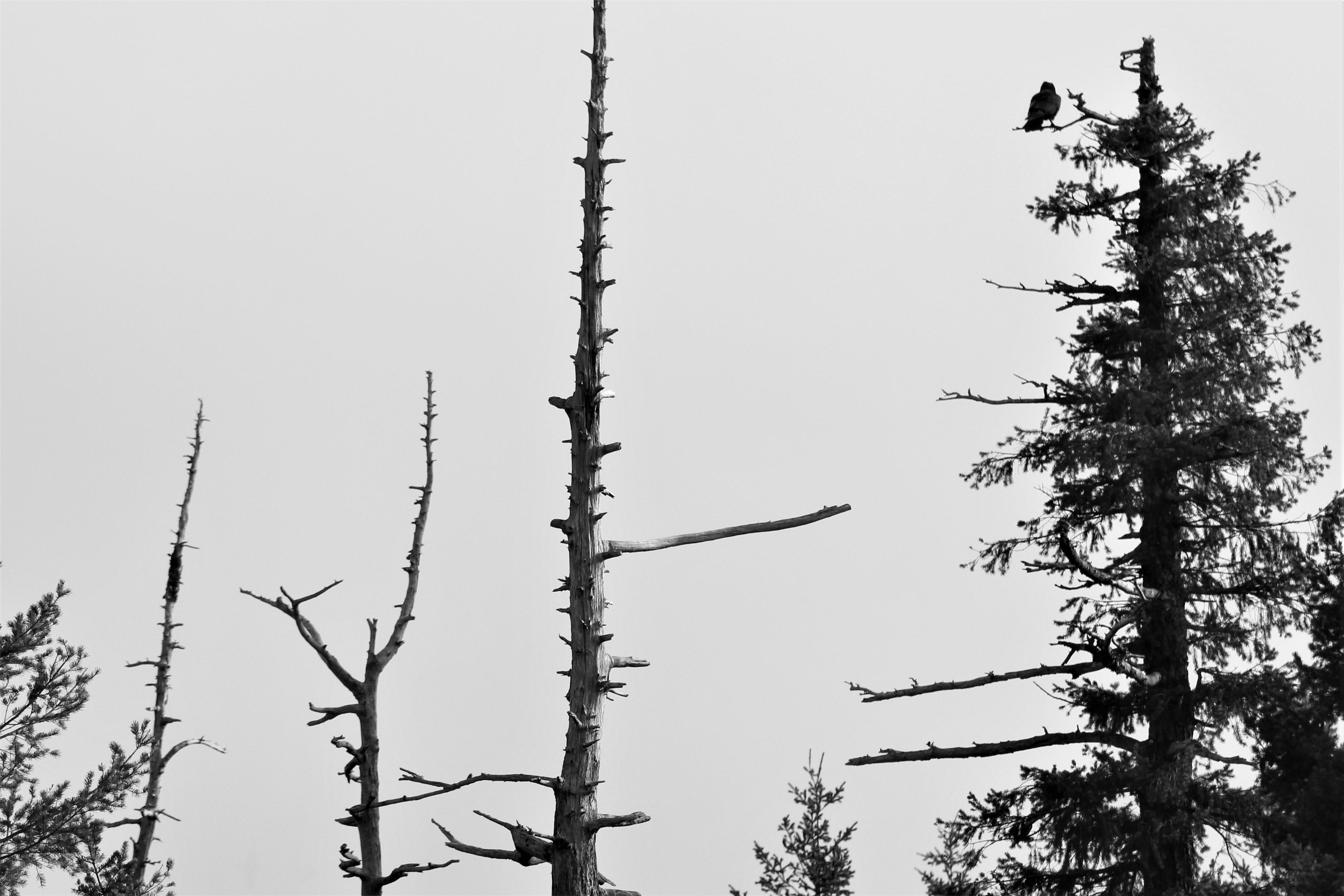 b&W crow.JPG