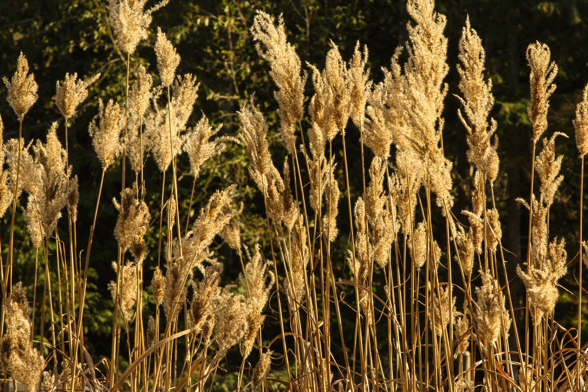 grasses_inlight